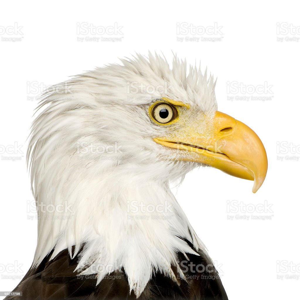 Bald Eagle (22 years) - Haliaeetus leucocephalus royalty-free stock photo