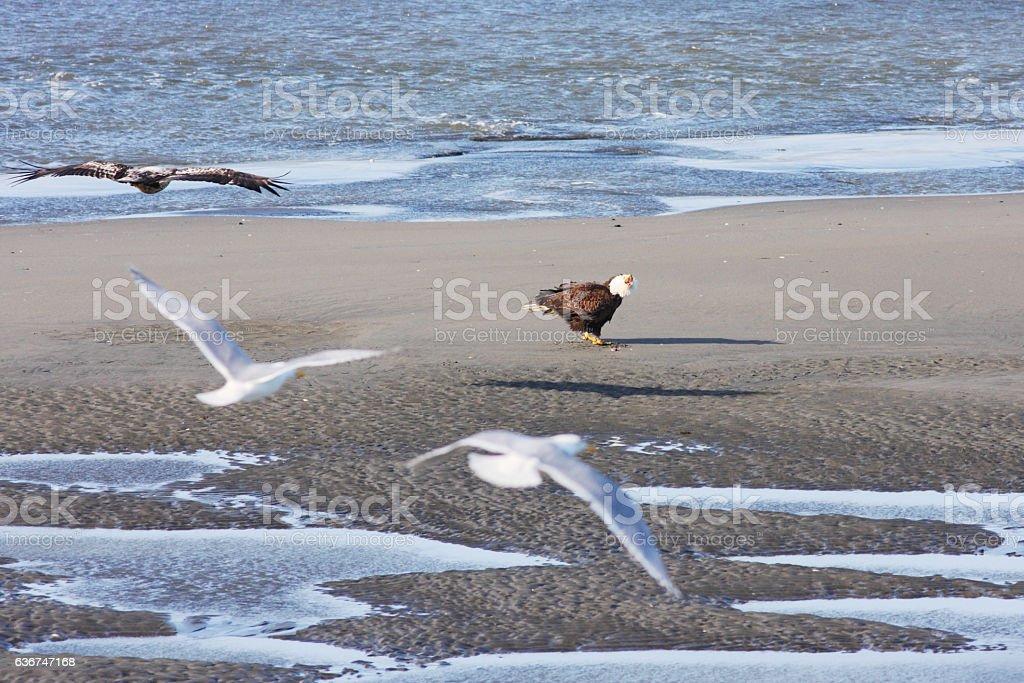 Bald Eagle Haliaeetus leucocephalus Shrieks Anger stock photo
