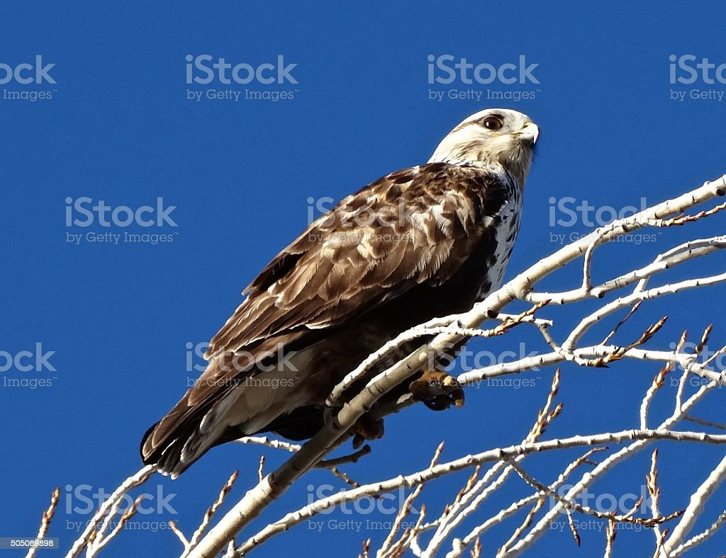 Bald Eagle Hawk stock photo