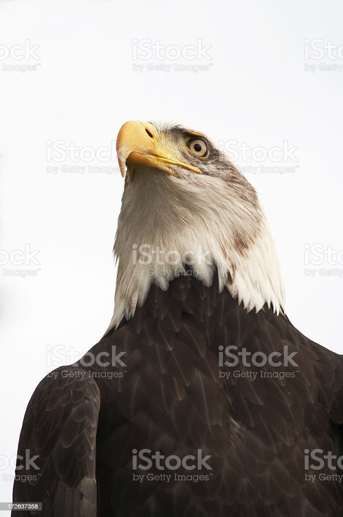 Bald eagle head 3 royalty-free stock photo