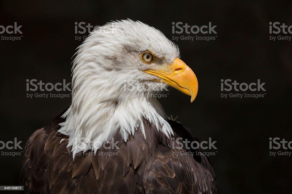 Bald eagle head isolated on black stock photo