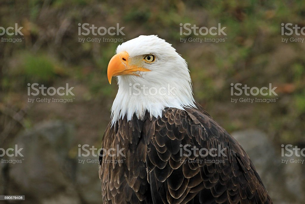 Bald eagle, head stock photo