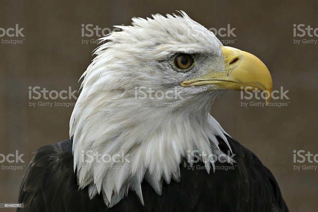 Bald Eagle (Haliaeetus leucocephalus) Head Profile Close-up stock photo