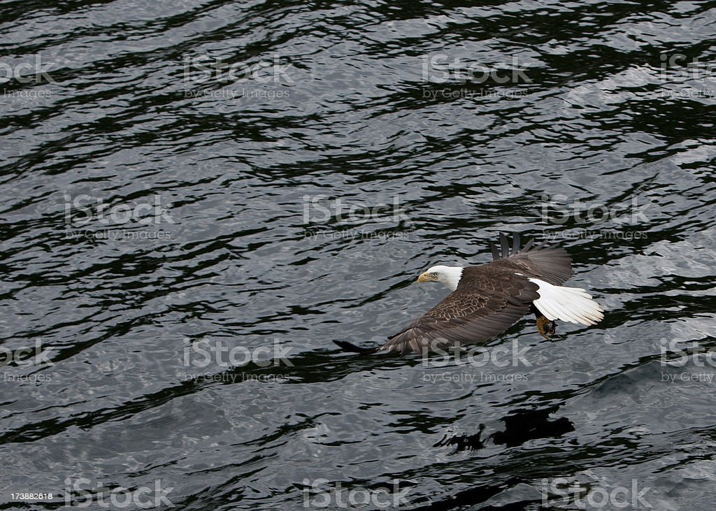 Bald Eagle in Alaska royalty-free stock photo