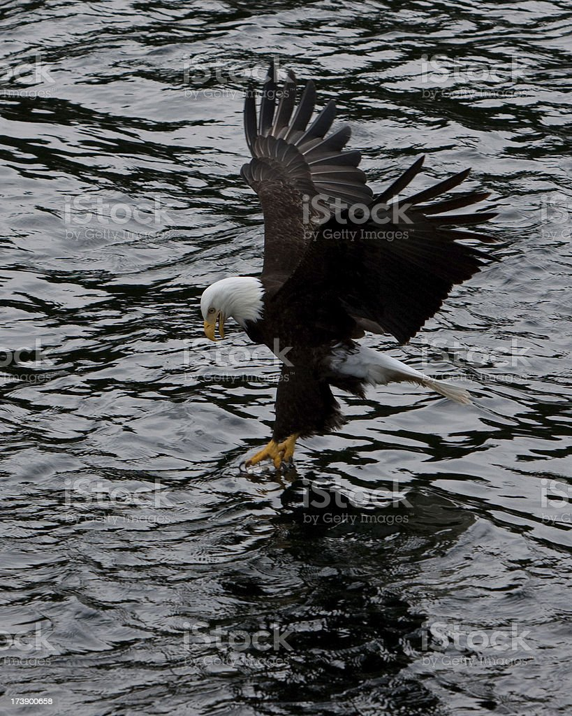 Bald Eagle in Alaska royalty-free stock photo