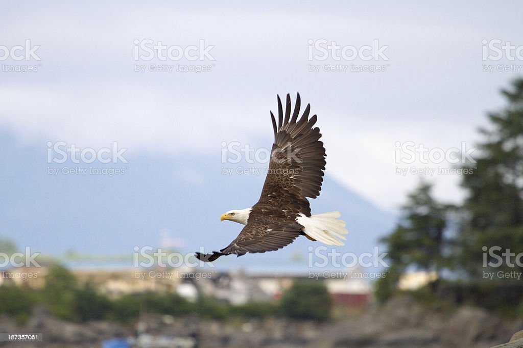 Bald Eagle in Alaska stock photo