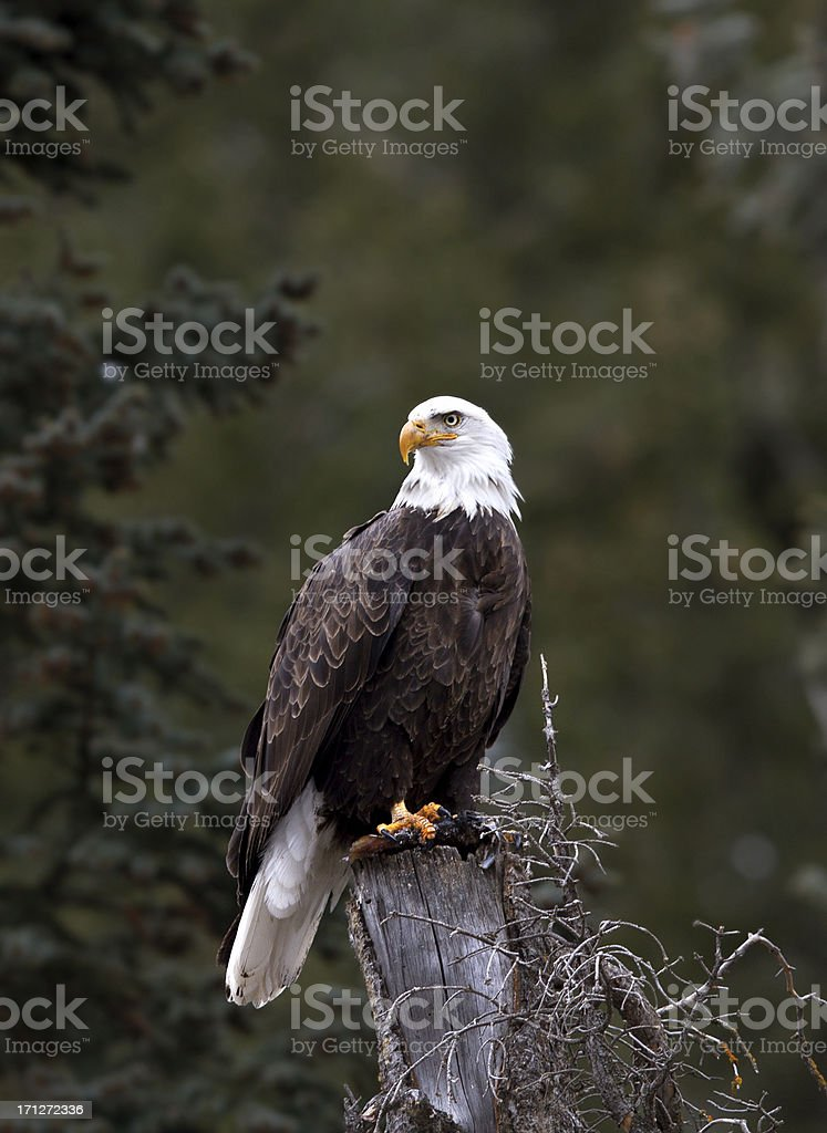 Bald Eagle in Aspen, Colorado royalty-free stock photo