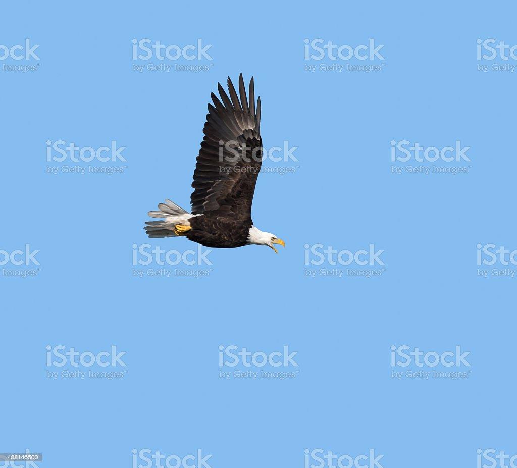 Bald Eagle in Flight against blue sky stock photo