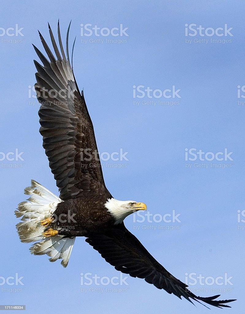 Bald Eagle in Flight - Alaska stock photo