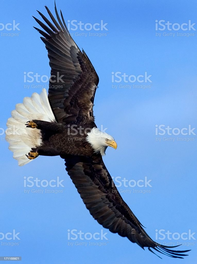 Bald Eagle in Flight - Alaska stock photo