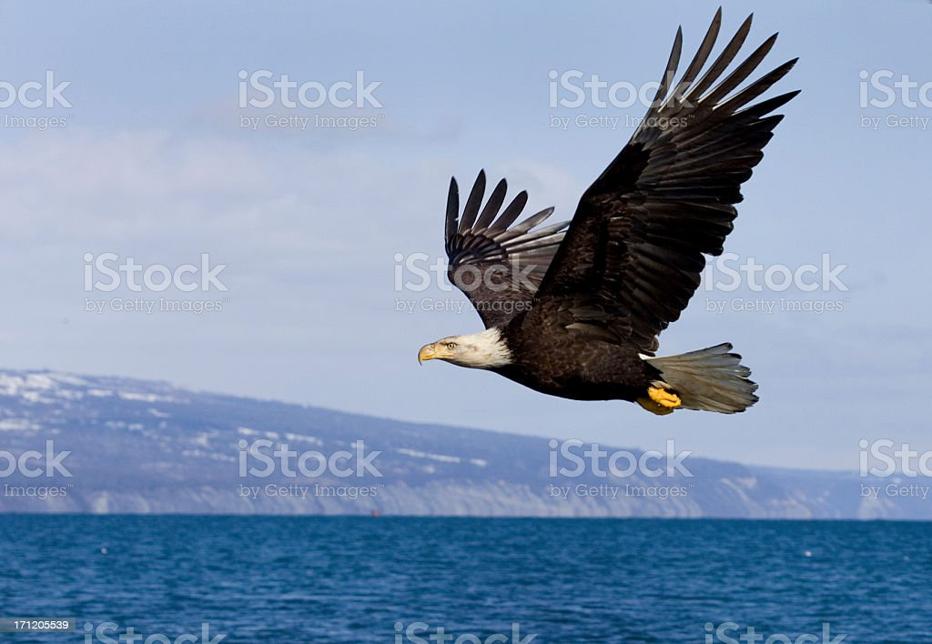 Bald Eagle on the Wings stock photo