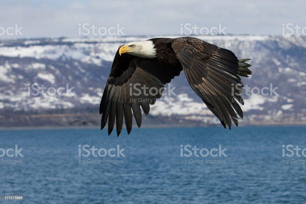 Bald Eagle in Flight - Alaska royalty-free stock photo