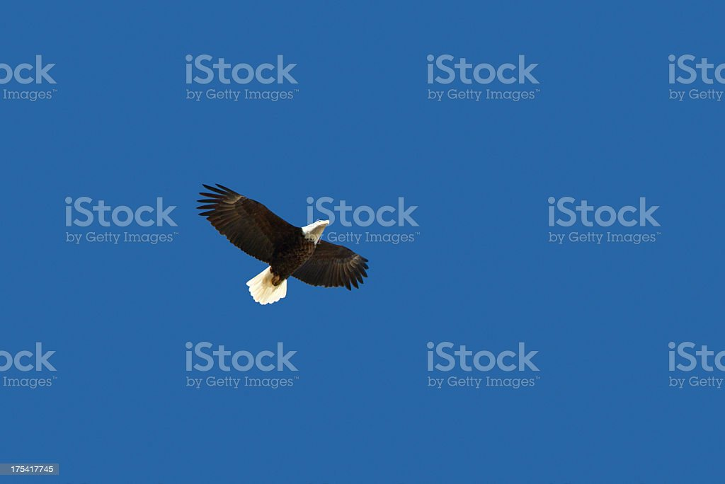 Bald Eagle in Flight - Aspen, Colorado stock photo