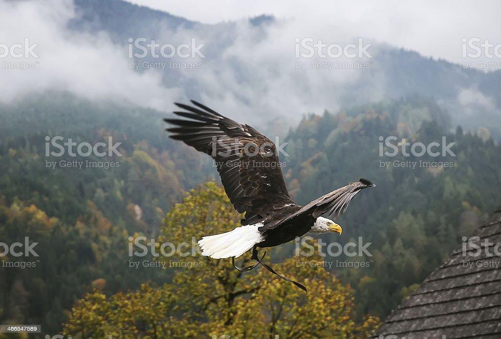 Bald Eagle in flight, Austria stock photo