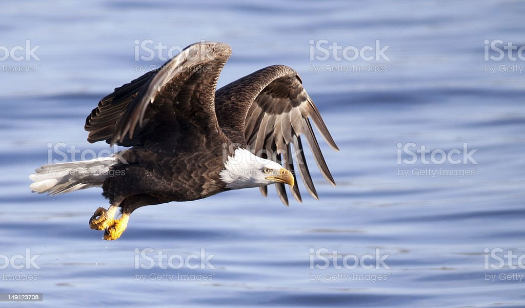 Bald eagle in flight over the Mississippi River, Iowa royalty-free stock photo