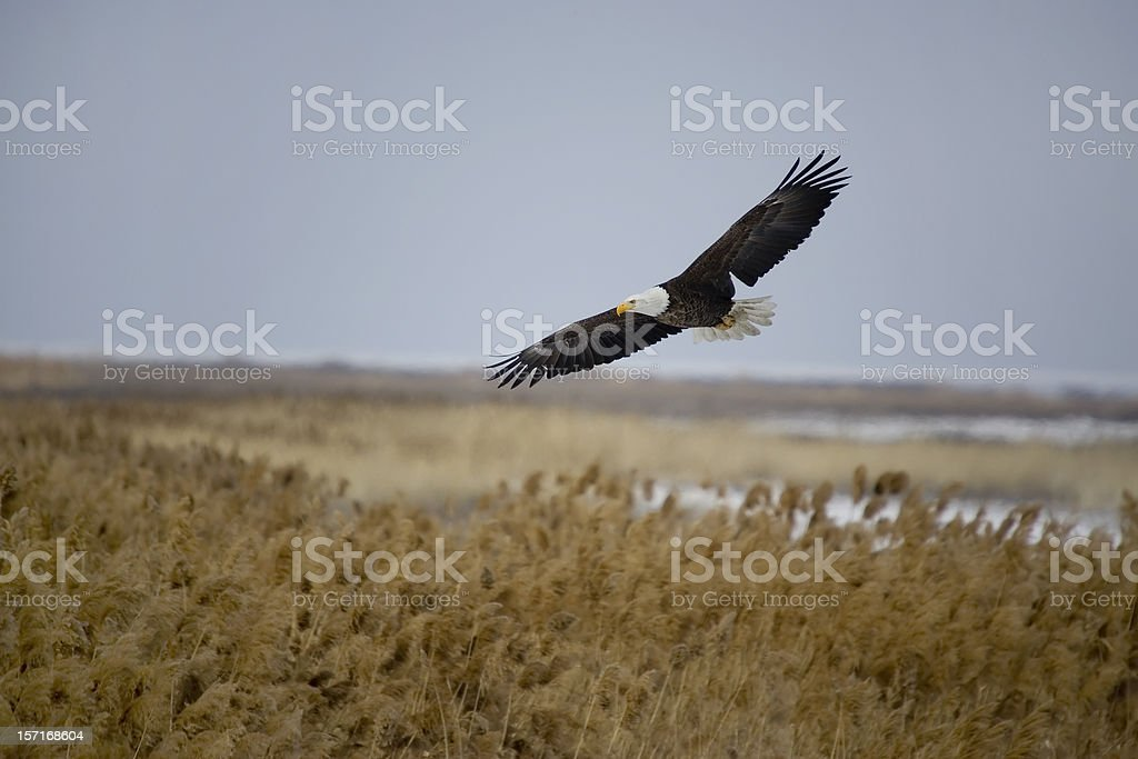Bald Eagle in Flight stock photo