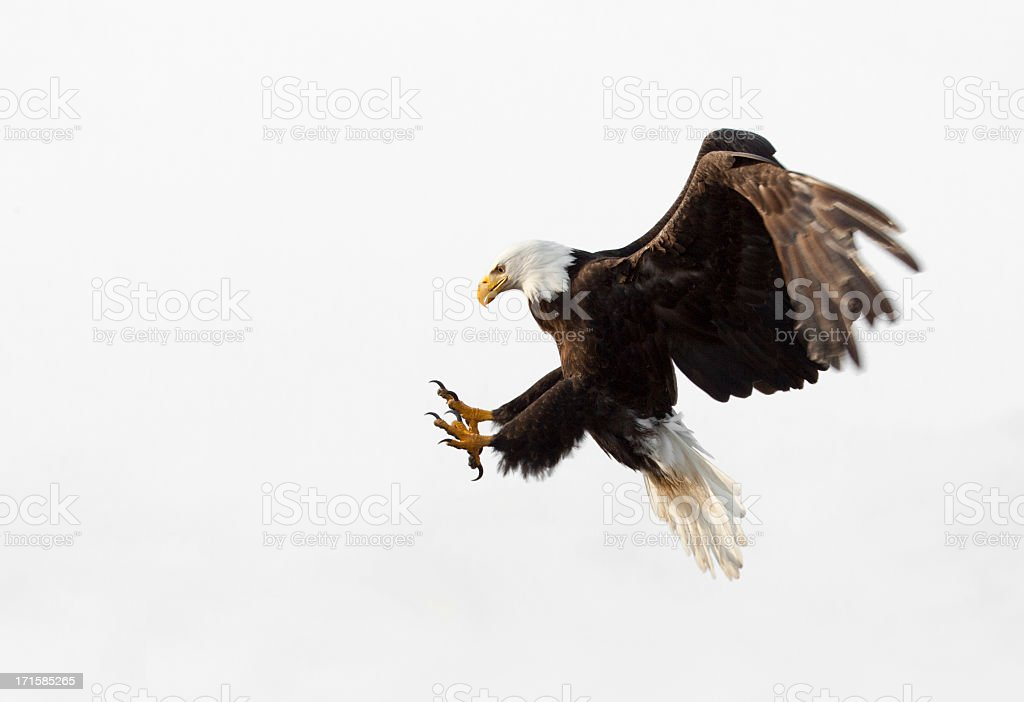 Bald Eagle In Flight - White Background, Alaska stock photo