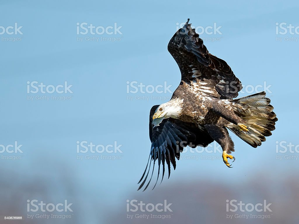 Bald Eagle in flight with Fish in Mouth stock photo
