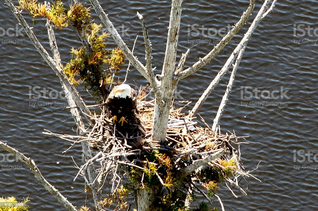 Bald Eagle in nest stock photo