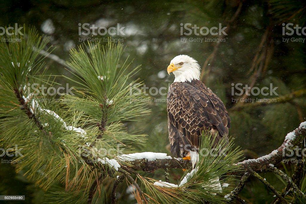 Bald eagle in snowy tree. stock photo