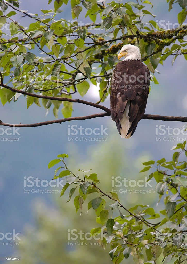Bald Eagle in the Forest, Alaska royalty-free stock photo