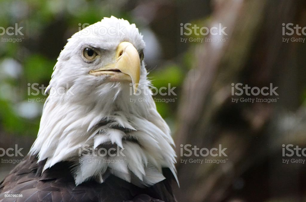 Bald Eagle in the Forest stock photo