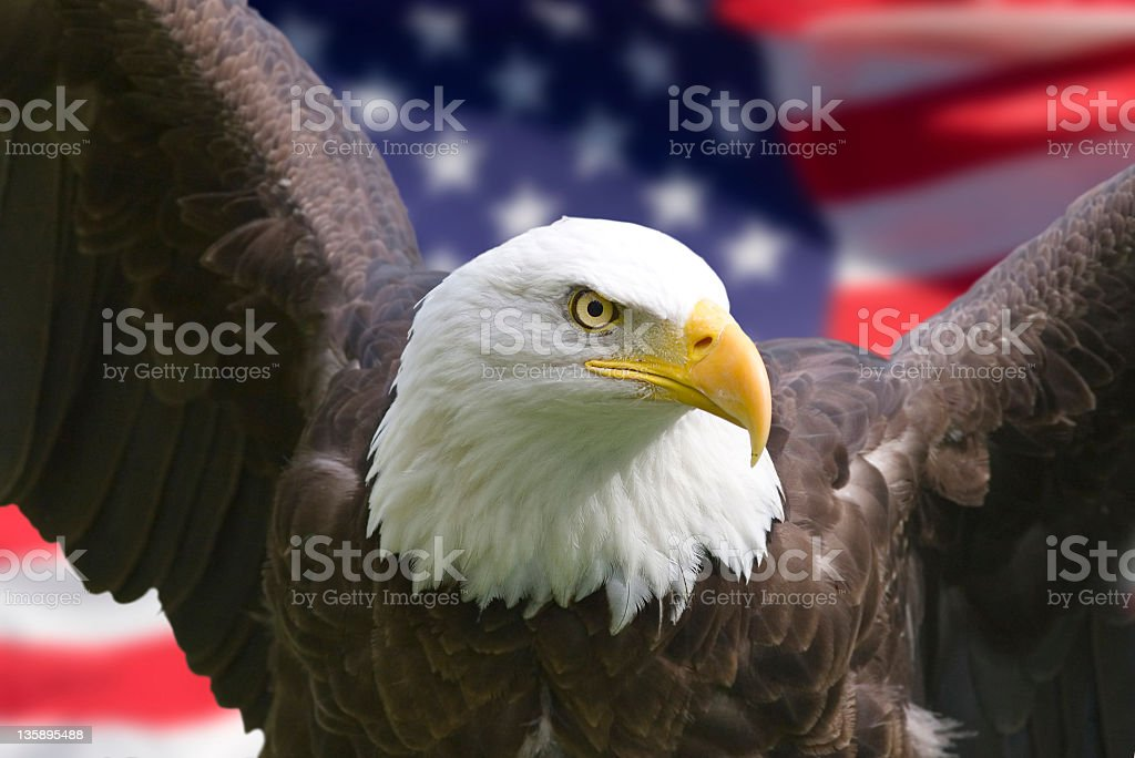 Bald eagle in the front of the American flag stock photo