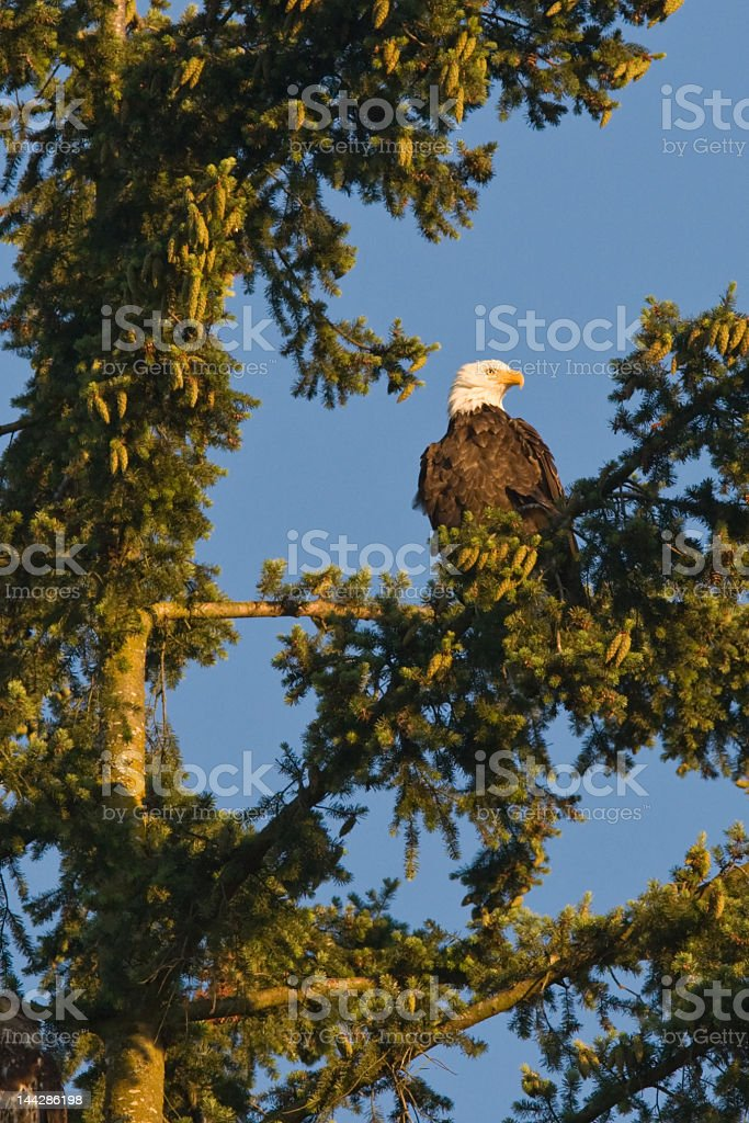 Bald Eagle in tree royalty-free stock photo