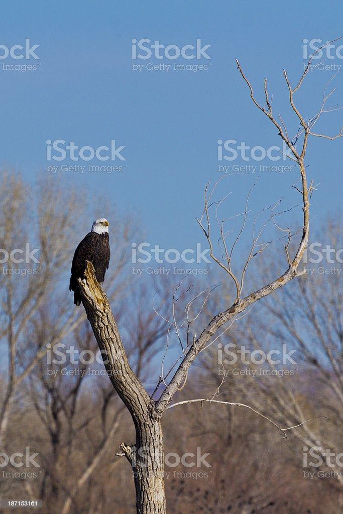 Bald Eagle in tree stock photo