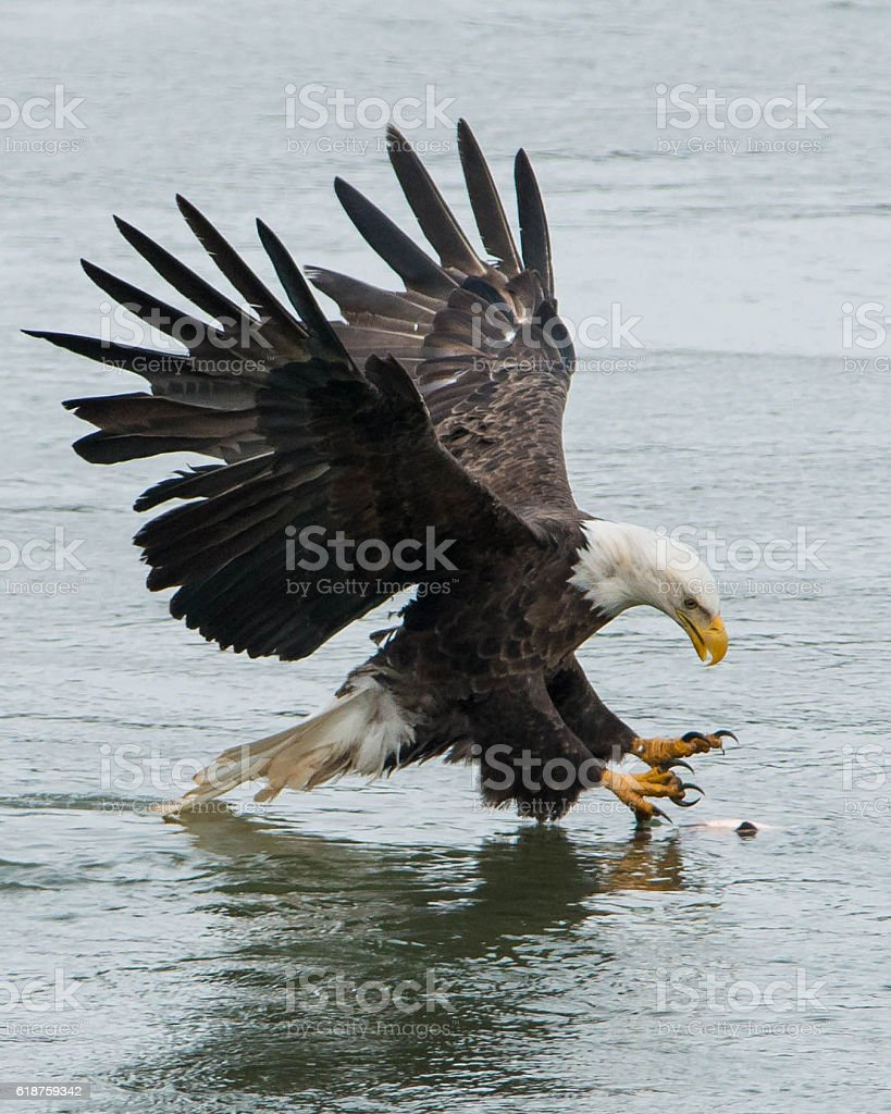 bald eagle is catching fish stock photo