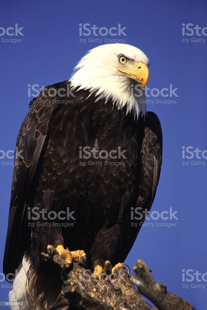 Bald Eagle Isolated on Blue royalty-free stock photo