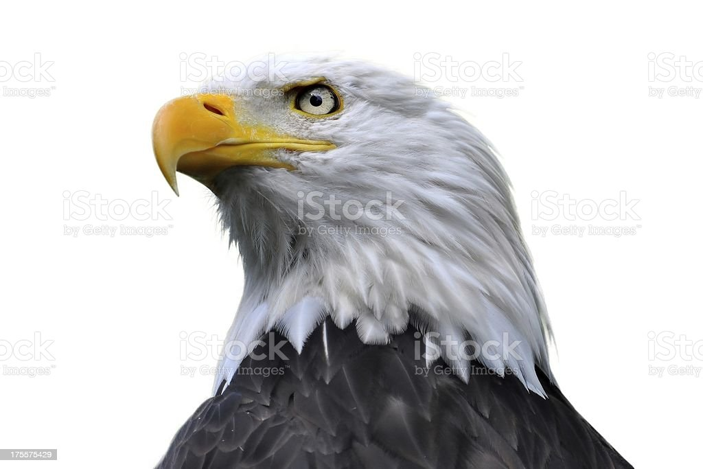 Bald eagle isolated stock photo
