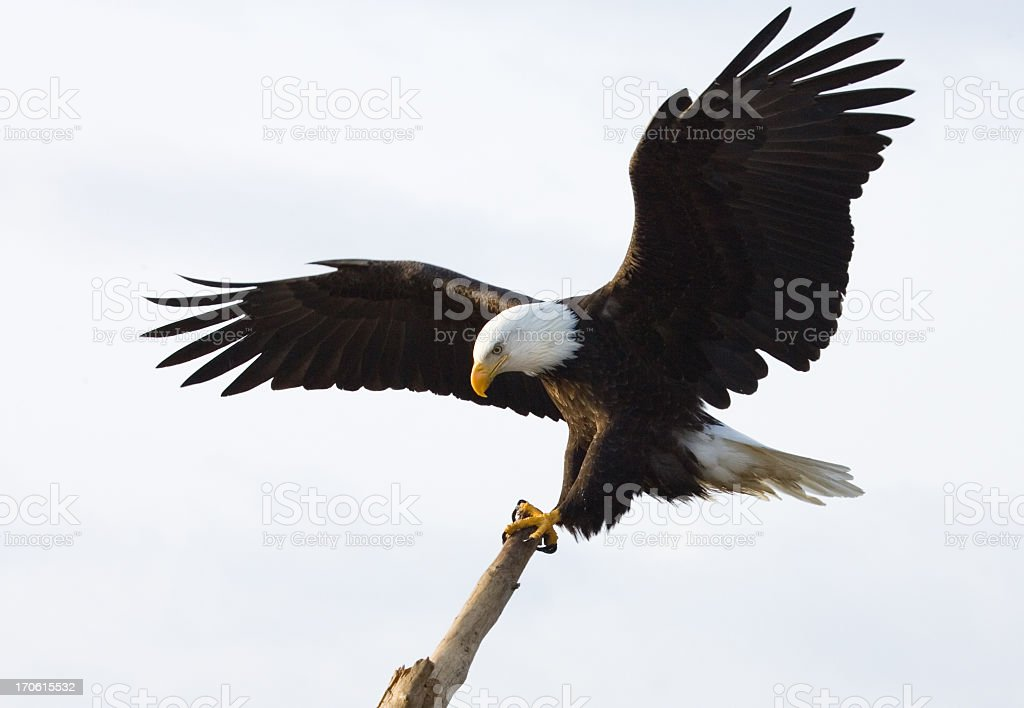 Bald Eagle - King of the Perch, White Background stock photo