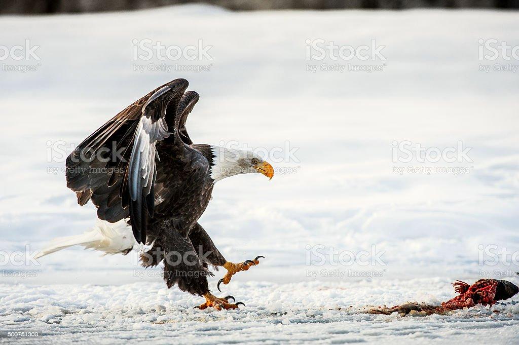 Bald Eagle (Haliaeetus leucocephalus) landed on snow stock photo