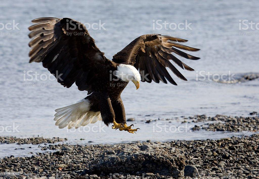 Bald Eagle - Landing on Beach stock photo