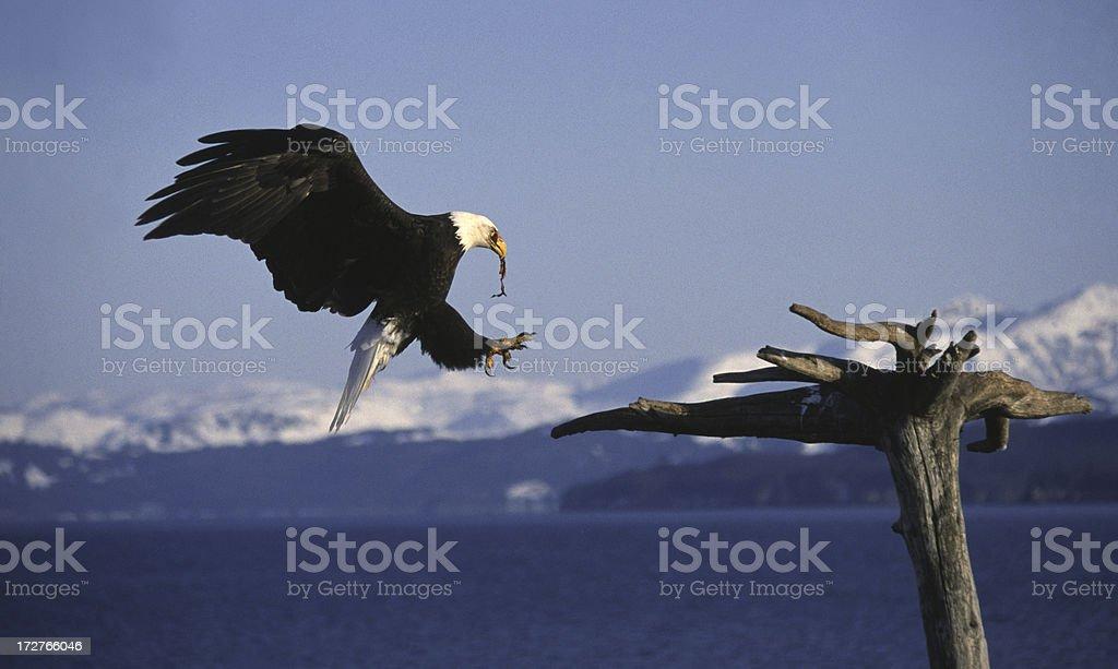 Bald Eagle Landing on Perch royalty-free stock photo