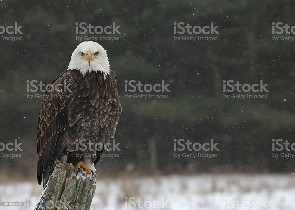 Bald Eagle Looking at You stock photo