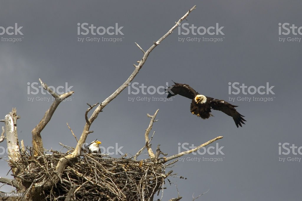 bald eagle nest stock photo