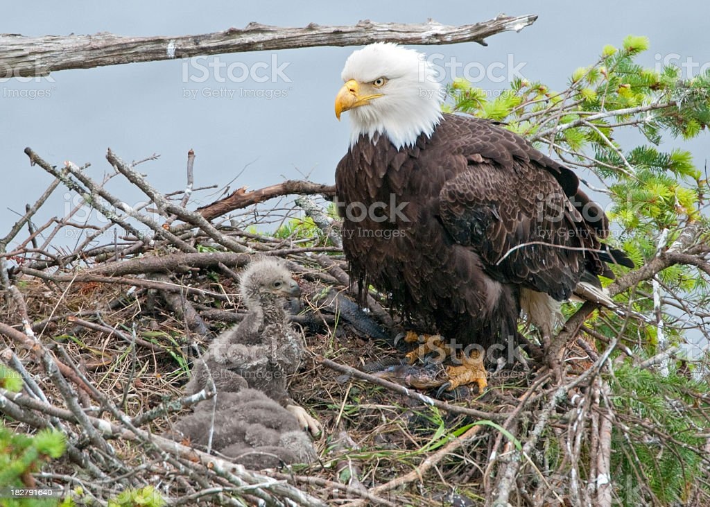 Bald Eagle Nest with 2 Chicks - 3 Weeks Old royalty-free stock photo
