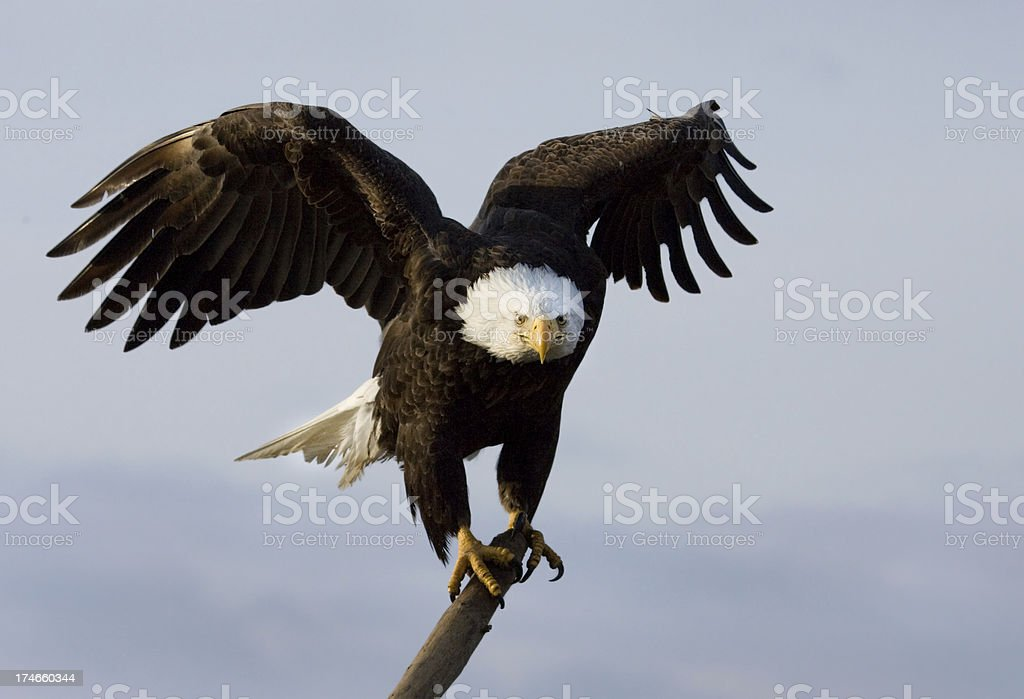 Bald Eagle on a Perch, Alaska royalty-free stock photo