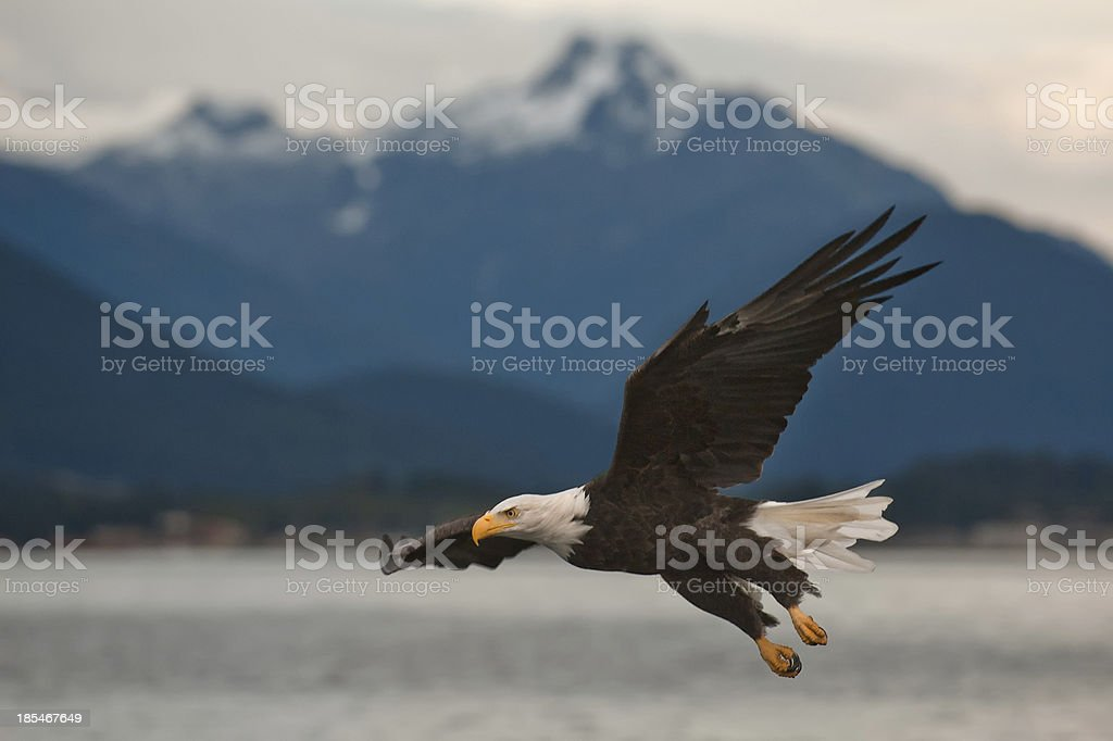 Bald Eagle on Approach stock photo
