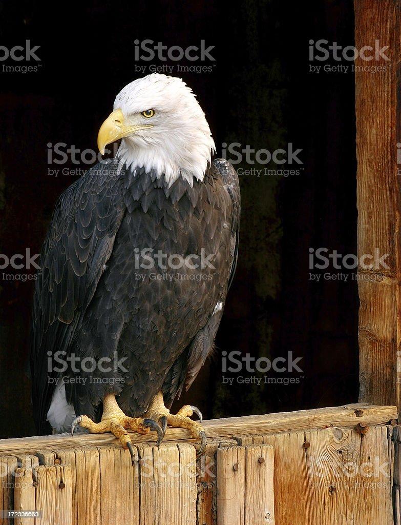 Bald Eagle on Barn Door royalty-free stock photo