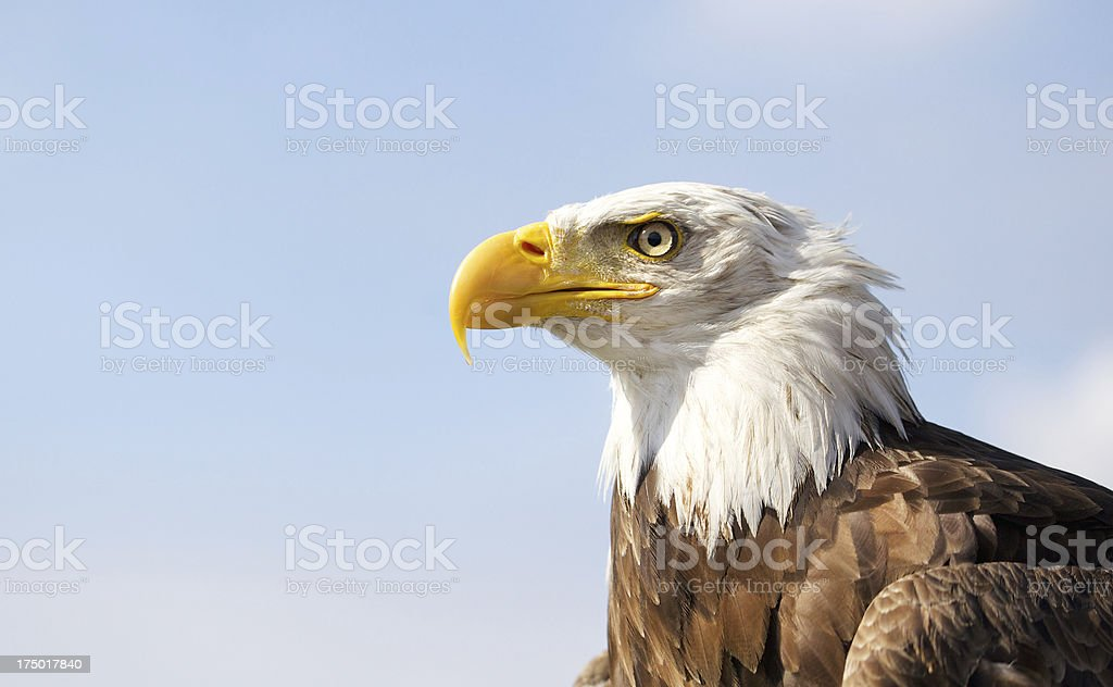 Bald eagle on blue sky background royalty-free stock photo