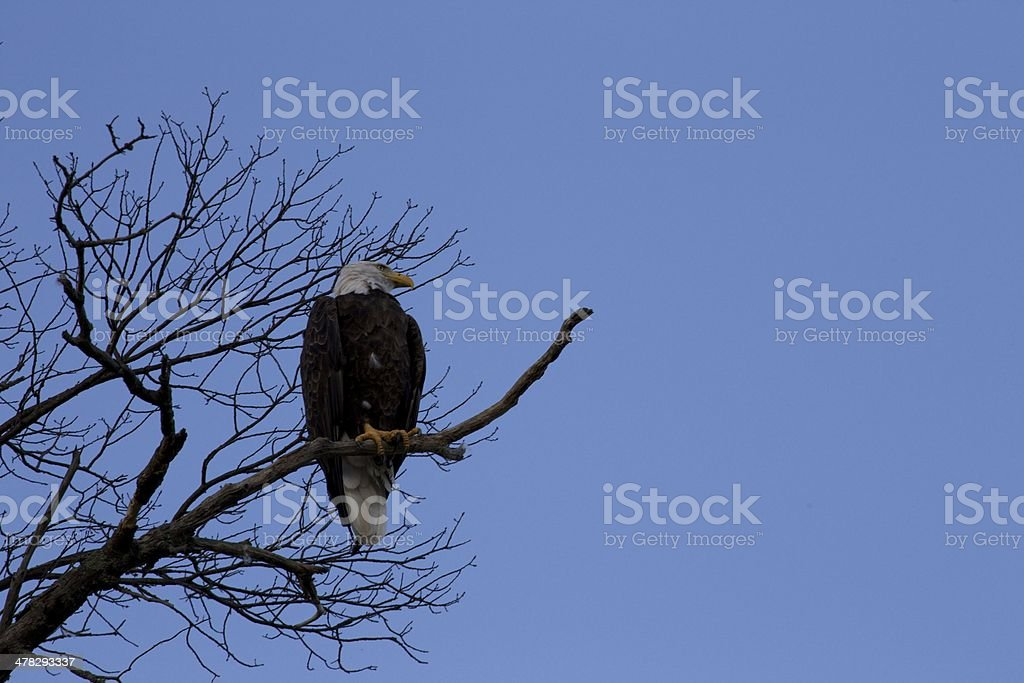 Bald Eagle on Dead Branch royalty-free stock photo