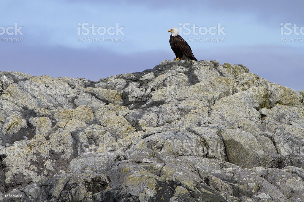 Bald Eagle on Rocks stock photo
