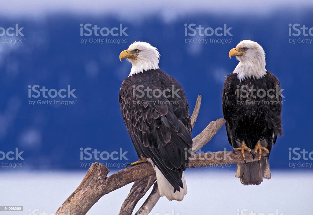 Bald Eagle Pair stock photo
