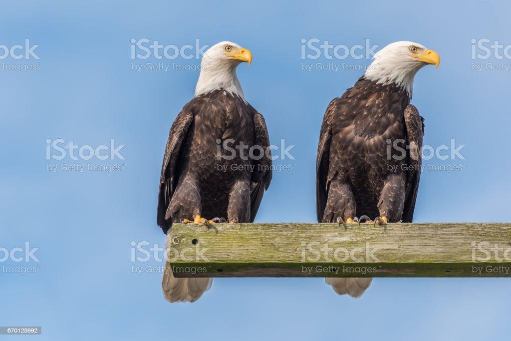 Bald Eagle pair watching stock photo