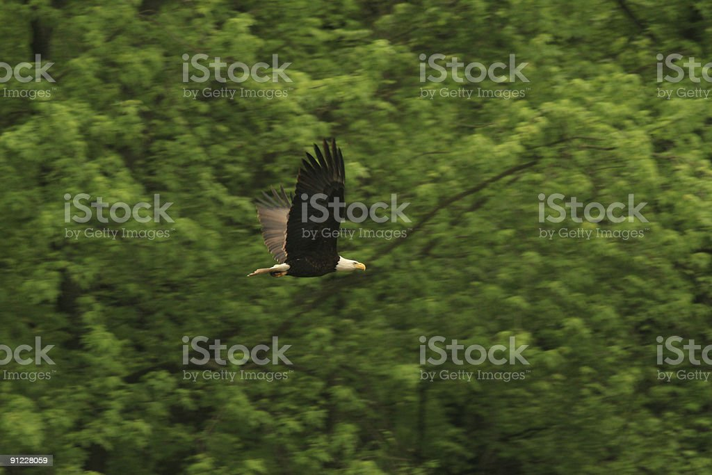 Bald Eagle Pan Blur, Missisippi River Iowa stock photo