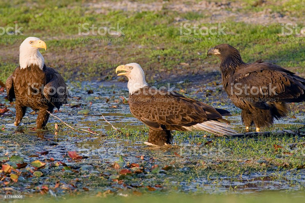 Bald Eagle Parents and Baby stock photo