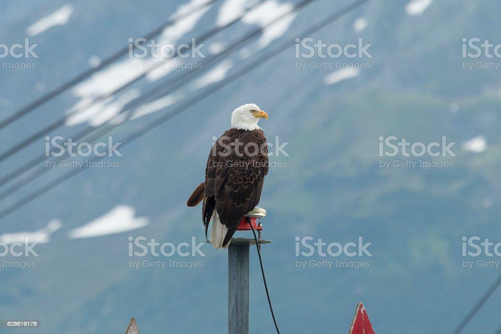 Bald eagle perched at the entrance to Seward harbor. stock photo